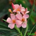 """Oleander  """"Róż - łososiowy"""" poj.  7"""