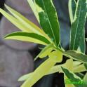 """Oleander  """"Splendens Foliis variegated  """"  10"""