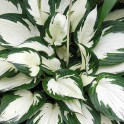 "Hosta ""Fire & Ice"" 4"