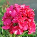 """Oleander """"General Pershing""""  4"""