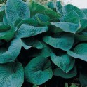 Hosta Big Daddy  1