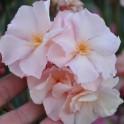 """Oleander """"'Souvenier de Michel""""  3"""